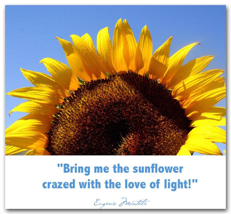 Sunflowerwcs