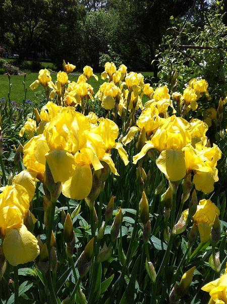 Irises by Jennifer Larson